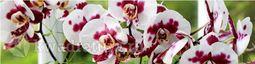 Кухонный фартук ХДФ Дикая орхидея
